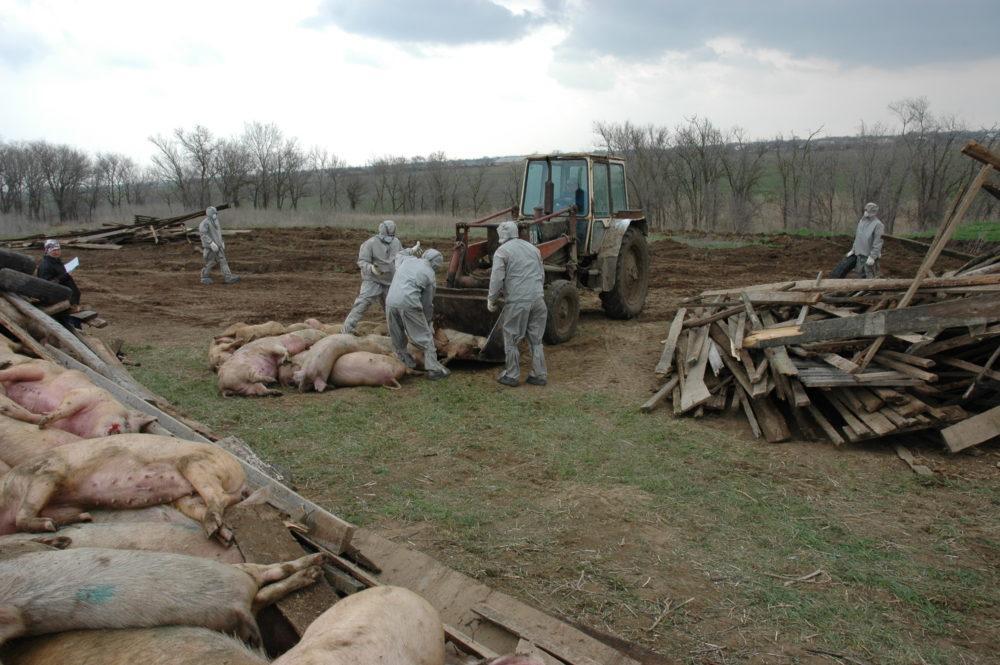 Уничтожение свинины зараженной АЧС