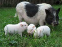 Сибирская миниатюрная свинья
