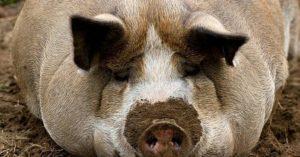 Морда свиньи