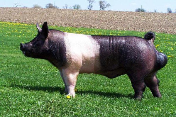 Гемпширская свинья хряк
