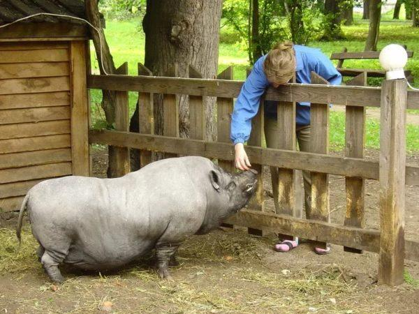 Вислобрюхая свинья в зоопарке