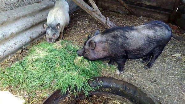 Вьетнамские вислобрюхие свиньи едят траву