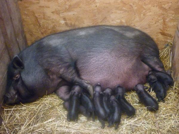 Свиноматка с поросятами - вьетнамские вислобрюхие