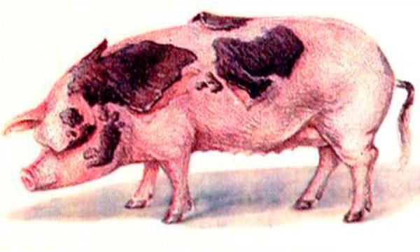 Хроническая форма рожи свиней