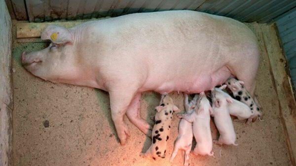 Кормящая свиноматка