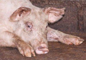 Понос у свиней