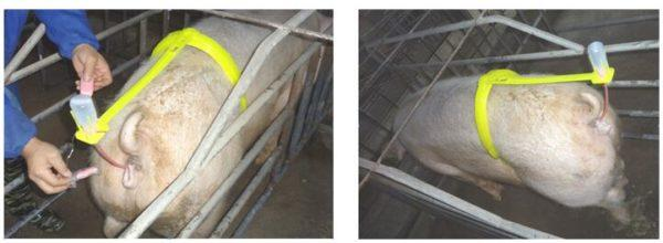 Осеменение свиноматки