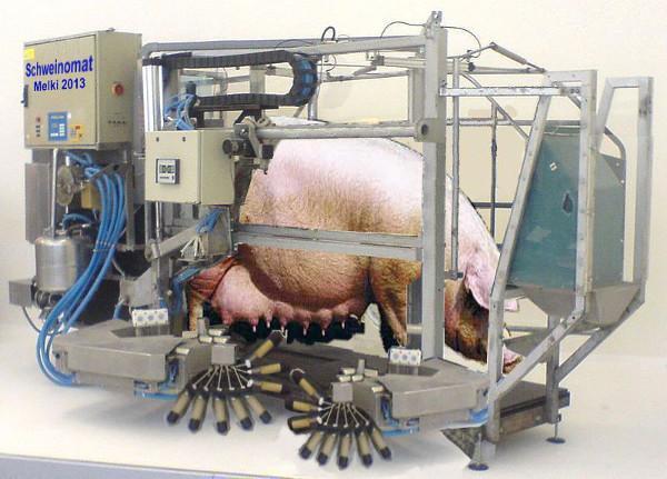 Доильный станок для свиноматки.