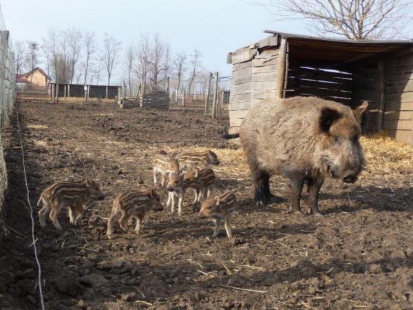 Ферма с дикими кабанами