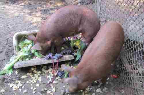 kormlenie-svinej-zelenym-kormom-500x331.jpg