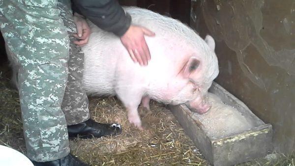 Откорм вьетнамских свиней