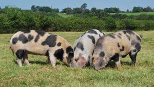 Белорусская черно пестрая порода свиней