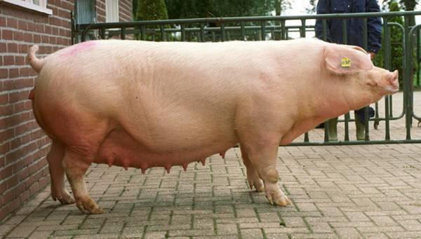 -свиней-Ландрас.jpg