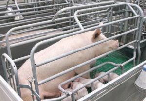 Станок для свиноматки