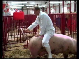 Искуственное осеменение свиноматки
