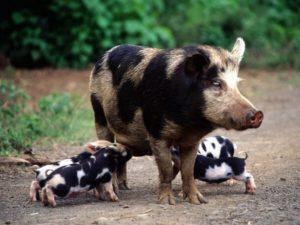 Белорусская черно-пестрая свинья