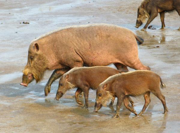 Семья бородатых свиней