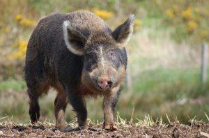 Гибрид свиньи и кабана