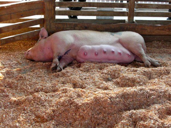 Лактирующая свиноматка
