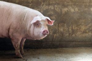 Эстонаская свинья