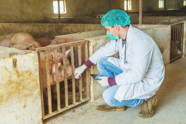 Ветеринар в свинарнике