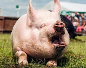 Свинья зевает
