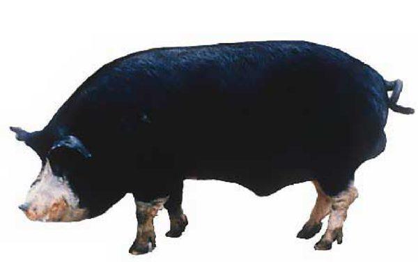 Кемеровская свинья