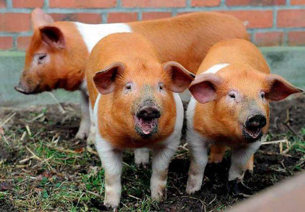 Красная бело-полосатая свинья