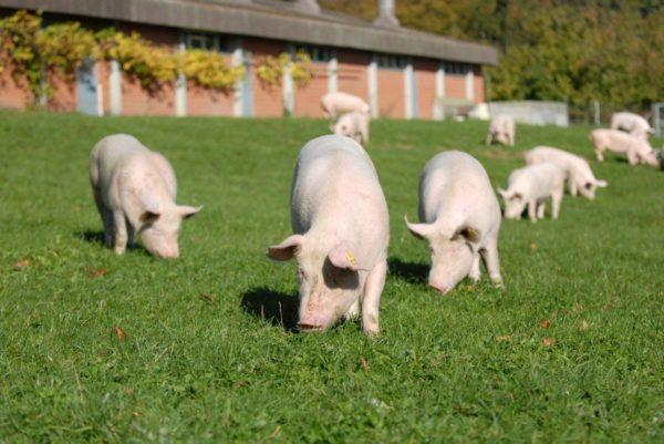 Свиньи на вольном выгуле