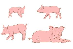 Как растут свиньи