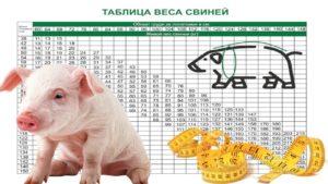 Вес свиньи по замерам