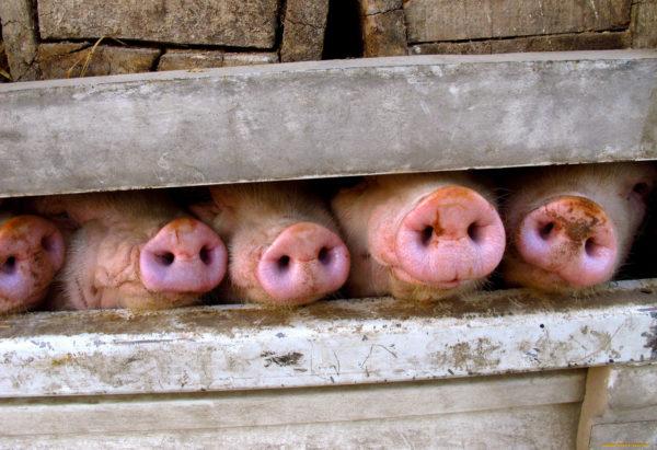 Свиные пятаки